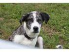 Adopt Tom a Cattle Dog