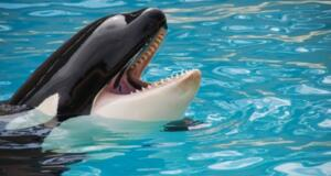 Are Orcas Being Held Against Their Own Will?