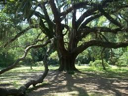 Live Oak tree, Lichgate on High Road, Tallahassee, history